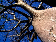 Baobab Tree - Botswana