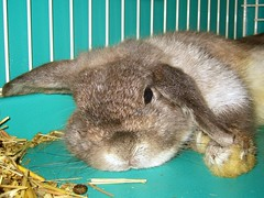Lazing Andora (jade_c) Tags: pet rabbit bunny animal mammal singapore opal  hollandlop andora  lagomorph opalhollandlop
