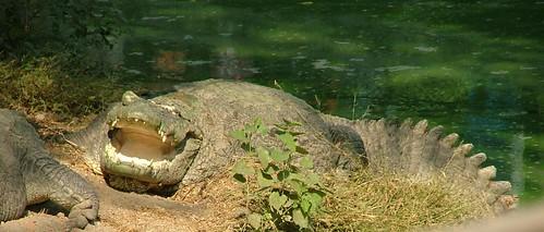 Indie - Krokodyl / Crocodile