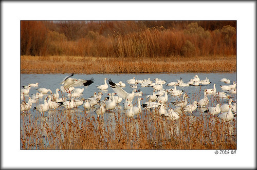 snow geese 8