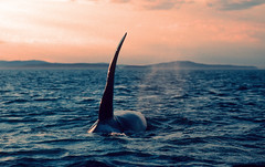 Beautiful Killer (fotolen) Tags: pacific northwest killer whale orca orcinus