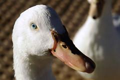 Donald (ellhoisa) Tags: naturaleza luz nature animals ilovenature nice ojos animales flickrcentral bichos patos sonydscr1