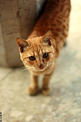Orange Cat (ET) Tags: pet cats pets brown cute cat 50mm f14 pussy kitty nikkor ert