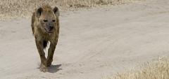 Hyena (Dave Hunt - Sydney) Tags: africa travel vacation animals trekking tanzania safari ngorongoro hyena africatoload tarangari