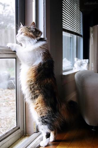 フリー画像| 動物写真| 哺乳類| ネコ科| 猫/ネコ| 三毛猫| 覗く/見る|     フリー素材|