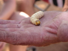 Witchetty Grub
