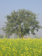 Rajasthan 226 (pranav_seth) Tags: india tree mustard rajasthan sarson rdb kesroli alwar incredibleindia rangdebasanti