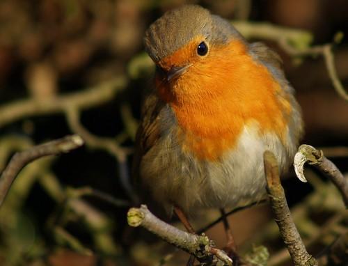 robin on Flickr