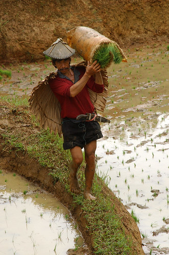 Luisiana, Laguna, farmer farm farming rural area rice seedling planting Pinoy Filipino Pilipino Buhay  people pictures photos life Philippinen  菲律宾  菲律賓  필리핀(공화국) Philippines,rural