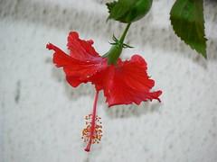 Sembaruthi  (Tamil: செம்பருத்தி) (dinesh_valke) Tags: flora evergreen hibiscus hibisco malvaceae hibiscusrosasinensis shrub rosemallow cayena gumamela ibisco chuchin bungaraya shoeflower chinarose tropicalhibiscus hawaiianflower chinesehibiscus roseofchina rosadechina hawaiianhibiscus mallowfamily fusang rosedechine sembaruthi chineseroos gurhal chemparati jaswand dosniphool गुढ़ल jubakusumathonba செம்பருத்தி जासवंद दोस्णिफुल queenofthetropics hibiscuschinensis blackingplant bussoge chihchin chinesischerroseneibisch cingulu claveljaponés feuilleschoublak hibiskukset jihchi khatmahsiniyah rosadellacina rusang schoensmeerplant sehempariti shoeblackplant worowari