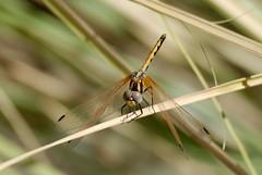 Trithemis arteriosa female recently emerged (Bob Reimer) Tags: dragonfly oman odonata teneral khutwah trithemisarteriosa wilayatmahdah