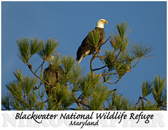 a GOOD morning - Two Bald Eagles @ Blackwater NWR