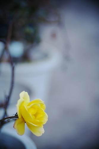 季節はずれの黄色