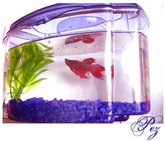 . My Betta . by nica*, on Flickr