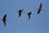 Cranes in Flight (K. W. Sanders) Tags: heron nature birds animals geotagged wildlife flight waterfowl 1on1 canon400mmf56l napg animaladdiction 1on1photooftheday 123birds wheelernationalwildliferefuge