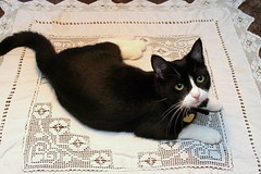 Sprawling on the dinner-table (Dr. Hemmert) Tags: pet cute animal cat table artemis