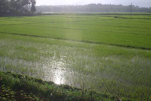 Rice paddies.