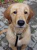 Wet Bailey (kotobuki711) Tags: dog pet reflection dogs wet water animal goldenretriever puppy fur nose golden eyes retriever patio explore pup thedoghouse impressedbeauty
