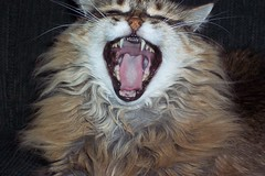 Yawn... (Tomitheos) Tags: favorite cats cat mouth vanishingpoint google opera flickr published image teeth tiger creative yawn images explore scream sos now today growl cutecat snarl 2007 encyclopedia ferocious luckyshot stockphotography beautyisintheeyeofthebeholder fotocat lolcats spontaneousoperasyndrome toronto2007  kittystormtroopers tomitheos
