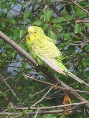 bird portugal canary