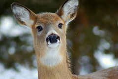 Inquisitive Deer - image by alttext. Click for a better view.