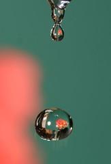 Flower Drops (yelovet00) Tags: flower green drops drips waterdrops colorsorange