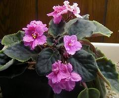 african_violets_pink