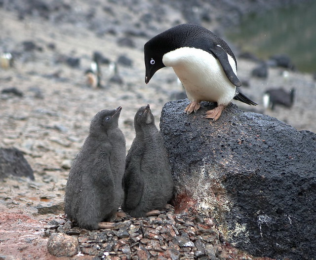 Adele Penguin feeding chicks on Paulet Island