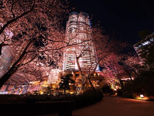 毛利庭園桜咲き始め