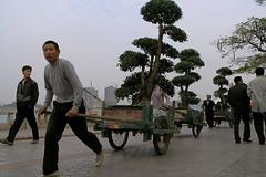 Train of bonsai (juicyrai) Tags: trees workers hauling bonsai xiamen gulangyu fujian pulling carts