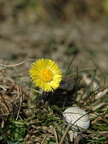 Tussilago farfara - Klein hoefblad, coltsfoot