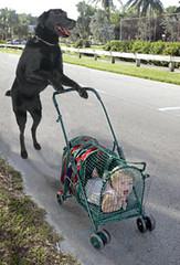Dog Pushing a Stroller