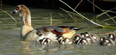 Egyptian Goose with offspring (already!) (Marrrcelll) Tags: holland bird netherlands birds geese spring thenetherlands goose goslings rijswijk egyptiangoose nijlgans alopochenaegyptiacus featheryfriday abigfave impressedbeauty marrrcelll