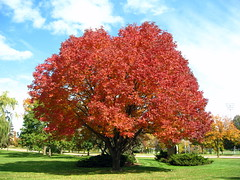 Big red tree (Mazda6 (Tor)) Tags: road red sky tree fall wisconsin clouds point big madison mineral gammon
