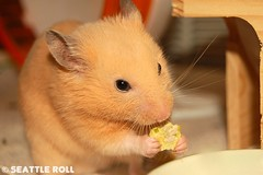Veggie Snack *Guinness* (Seattle Roll) Tags: pet pets animal animals d50 golden snack hamster hamsters syrian