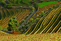 (PauloSantos) Tags: autumn colour tree green portugal canon bravo wine quality f100 2006 douro interestingness2 portowine magicdonkey eos30d abigfave superaplus aplusphoto vineyardes