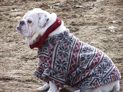 Is this my colour? (makeupanid) Tags: toronto cute highpark coat bulldog karma dogpark commentonmycuteness theworldthroughmyeyes animaladdiction
