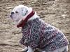 Is this my colour? (makeupanid) Tags: toronto cute highpark coat bulldog karma dogpark commentonmycuteness theworldthroughmyeyes animaladdiction