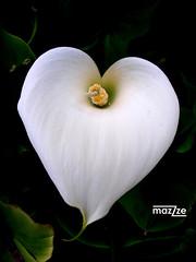 Love (mazzze) Tags: flower flor color colour macro jardin botanico nature naturaleza blanco white heart love corazon amor helluva supershot anawesomeshot coolestphotographers platinumphoto flowerotica mazzzesfaves