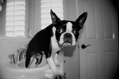 Ayla in the sink (Megan Finley) Tags: dog white black silly cute eye dogs goofy boston bostonterrier bathroom paw eyes funny bathrooms sink sweet adorable ears terrier ear 5bestdogs paws sinks ayla terriers lovethispic smushedfaceddog