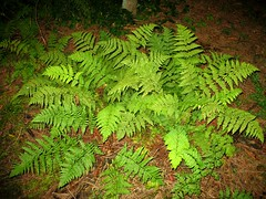 Ferns fairly