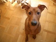 CIMG5166 (stefanooo) Tags: dog puppy alfie pinscher