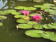 Water lilies (antisyzygy) Tags: oxford botanicgardens latesummer