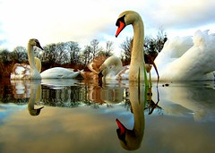 5x2 swans..... (Nicolas Valentin) Tags: deleteme5 lake deleteme reflection deleteme2 deleteme3 deleteme4 bird nature water birds topv111 composition ilovenature gold scotland interestingness amazing swan bravo perfect saveme outdoor saveme2 wildlife feathers best mg explore mostfavorited wtf topv3333 cotc creamofthecrop animalkingdom helluva cotcmostfavorited magicdonkey rmw outstandingshots lovephotography specnature specanimal onlythebest animalkindomelite 2on2photooftheday rmmj abigfave p1f1 generouscomments anawesomeshot impressedbeauty superaplus aplusphoto flickrplatinum mg300 400fav goldstaraward extraordinaryshot itcouldbreakrecordof10000viewssoon superbarating