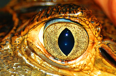 the eye of the caiman with glasses (le_faju) Tags: 2005 france eye animal yellow french caiman pupil kaw reptil guiana