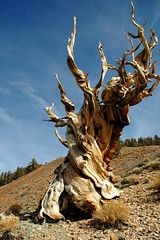 Ancient Bristlecone Pine (Clinton Steeds) Tags: california whitemountains ancientbristleconepineforest