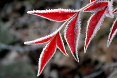 Winter is near (jodi_tripp) Tags: red cold macro fall bravo frost sharp explore top10 allrightsreserved magicdonkey specnature gtaggroup goddaym1 joditripp challengeyouwinner bestnaturetnc06 wwwjoditrippcom photographybyjodtripp joditrippcom