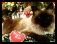 #  Sweet Heart  # (aunqtunolosepas) Tags: christmas pet cats pets tree cute animal animals cat arbol happy navidad kitten feline holidays bea heart sweet adorable kitty kittens gatos cutie gato navidades kitties missy gata felinos felino felines animales feliz lovely cuteness siames mascota mascotas