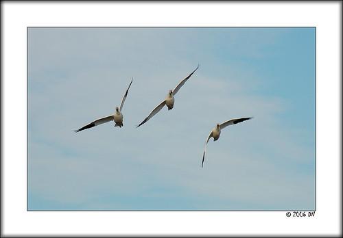 snow geese 7 free