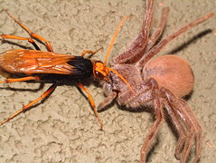 Spider Wasp (family Pompilidae) attacking Huntsman Spider, Alice Springs, Central Australia. (Michael J. Barritt) Tags: wildlifeofaustralia hymenoptera pompilidae spiderwasp attacking huntsmanspider alicesprings centralaustralia michaeljosephbarritt michaelbarritt karenmay sparassidae
